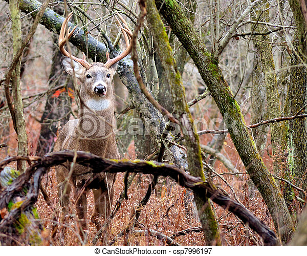 Whitetail Deer Buck - csp7996197