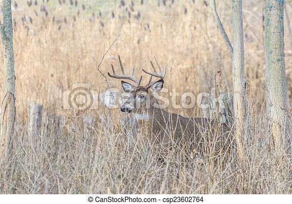Whitetail Deer Buck - csp23602764