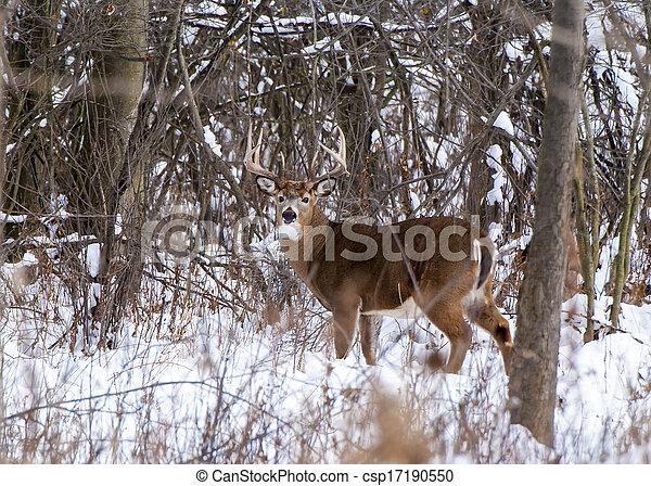 Whitetail Deer Buck - csp17190550