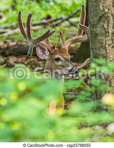 Whitetail Deer Buck - csp23768055