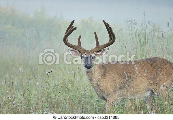 Whitetail Deer Buck - csp3314885