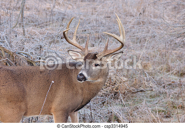 Whitetail Deer Buck - csp3314945