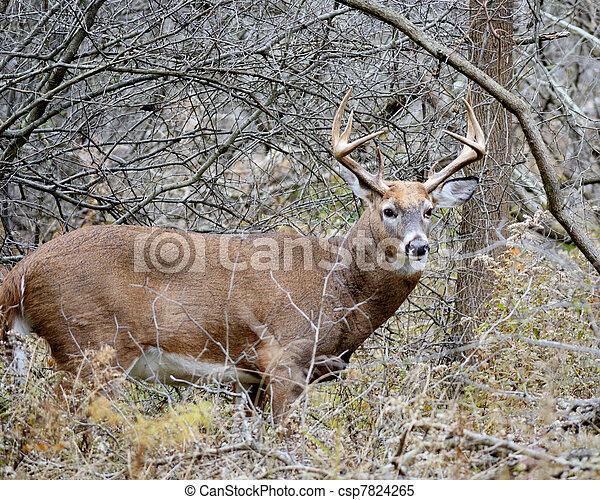 Whitetail Deer Buck - csp7824265