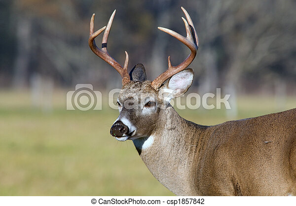 Whitetail deer buck - csp1857842