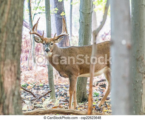 Whitetail Deer Buck - csp22623648