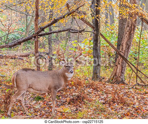Whitetail Deer Buck - csp22715125