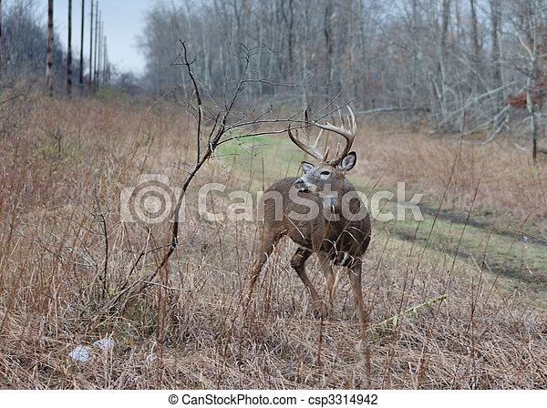 Whitetail Deer Buck - csp3314942