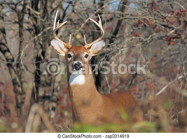 Whitetail Deer Buck - csp3314919