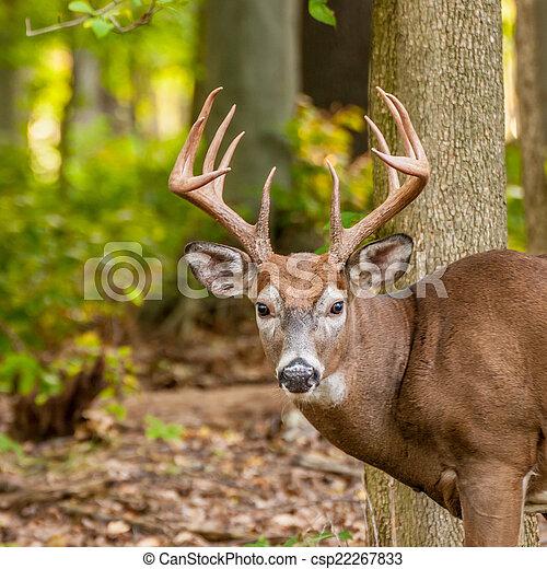 Whitetail Deer Buck - csp22267833