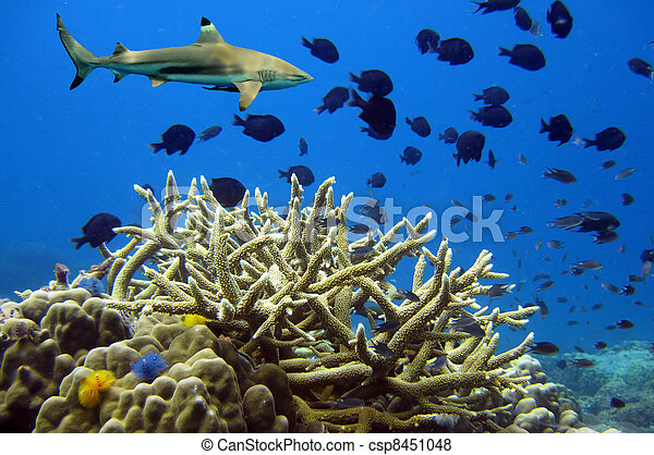 Whitetip sharks over coral reef - csp8451048