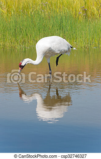 Whooping Crane Foraging for Food - csp32746327