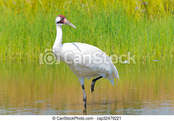 Whooping Crane Wading in Marsh - csp32479221