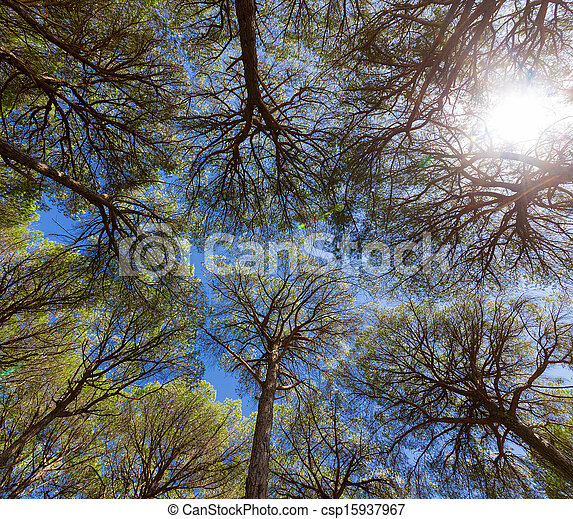 Wide angle view of pine trees - csp15937967