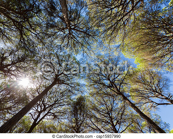 Wide angle view of pine trees - csp15937990