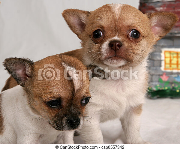 Wide Eyed Puppy Pair Of Chihuahua Puppies