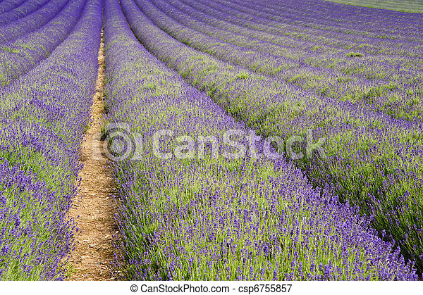 Wide low angle view of lines in lavender field landscape - csp6755857
