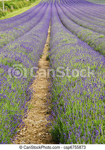 Wide low angle view of lines in lavender field landscape - csp6755873
