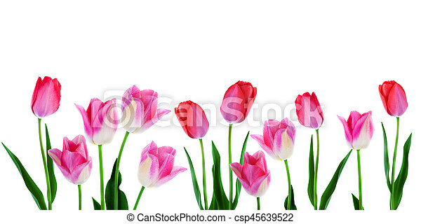 Wide Spring Flowers Border Pink Tulips With Leaves In A Row Isolated