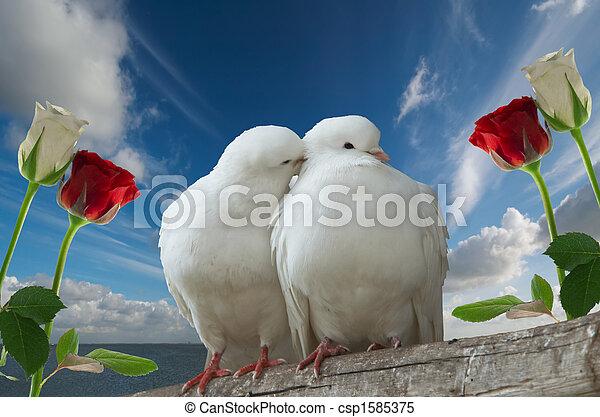 wihte, liefde, duiven - csp1585375