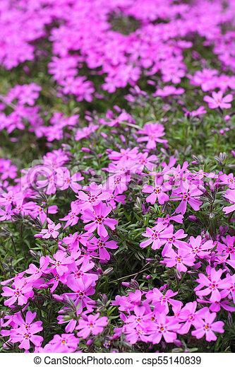 Wild alpine flowers wild pink alpine flowers growing on rock wild alpine flowers csp55140839 mightylinksfo