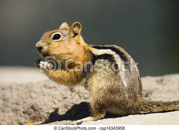 Wild Animal Chipmunk Stands Eating Filling up For Winter  - csp16343958