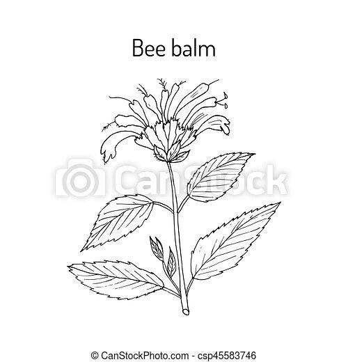Wild bergamot or bee balm - csp45583746