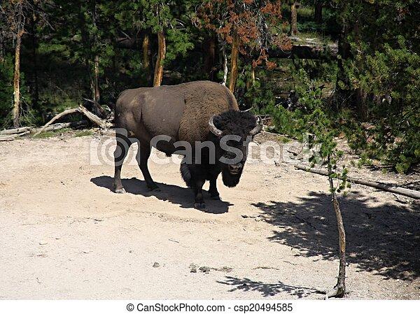 Wild bison in Yellowstone national park - csp20494585