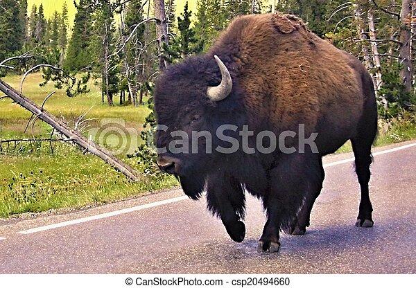 Wild bison in Yellowstone national - csp20494660