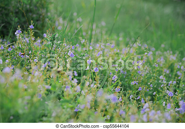 Wild blue flowers on a meadow in summer - csp55644104