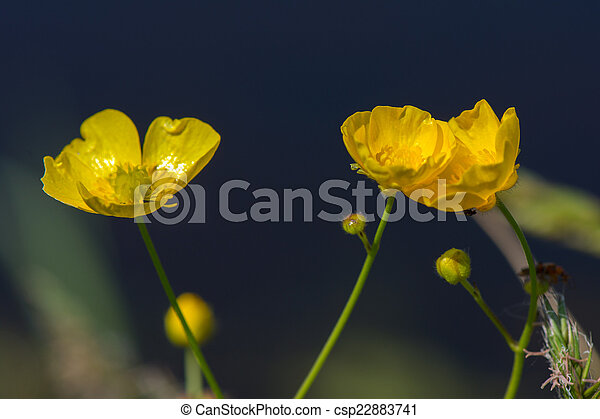Wild buttercups - csp22883741