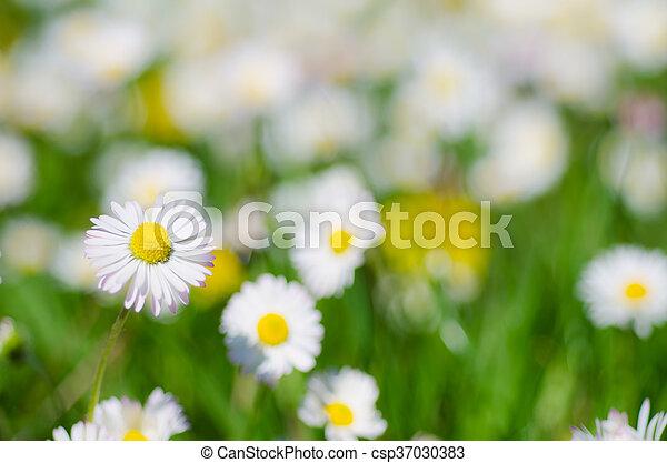 Wild camomile flowers - csp37030383