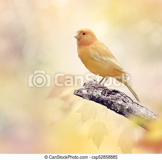 Wild Canary on a branch - csp52858885
