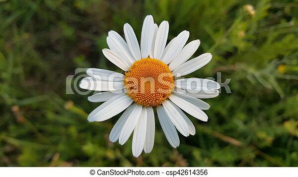 Wild chamomile flower - csp42614356
