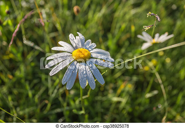 Wild chamomile flowers on a field in sunny day. - csp38925078