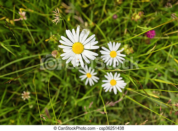Wild chamomile flowers on a field in sunny day. - csp36251438