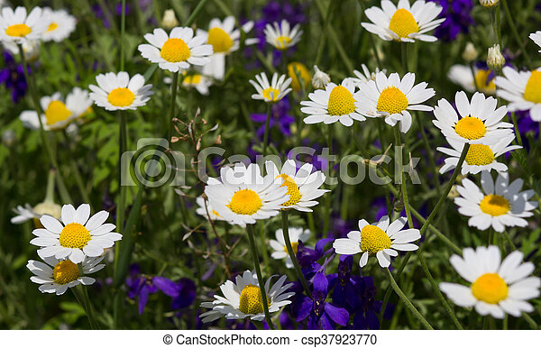 Wild chamomile flowers on a field on a sunny day. shallow depth of field - csp37923770