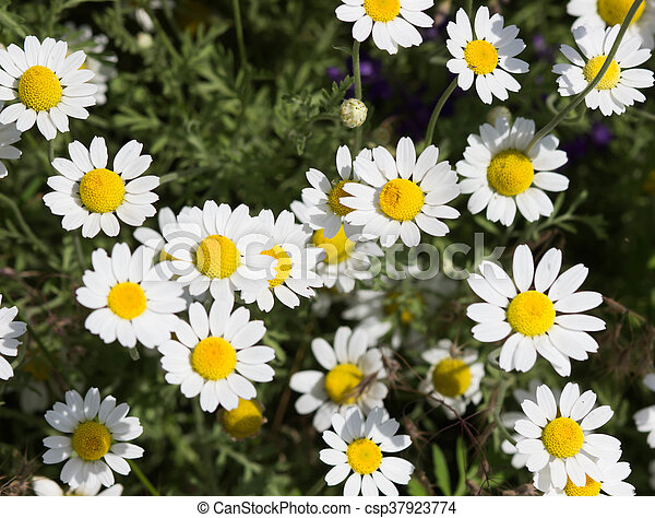 Wild chamomile flowers on a field on a sunny day. shallow depth of field - csp37923774