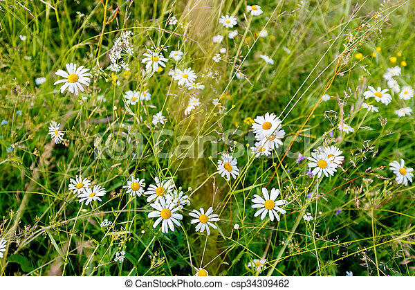 Wild chamomile flowers on a field on a sunny day. - csp34309462