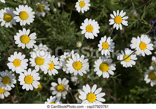 Wild chamomile flowers on a field on a sunny day. shallow depth of field - csp37923761