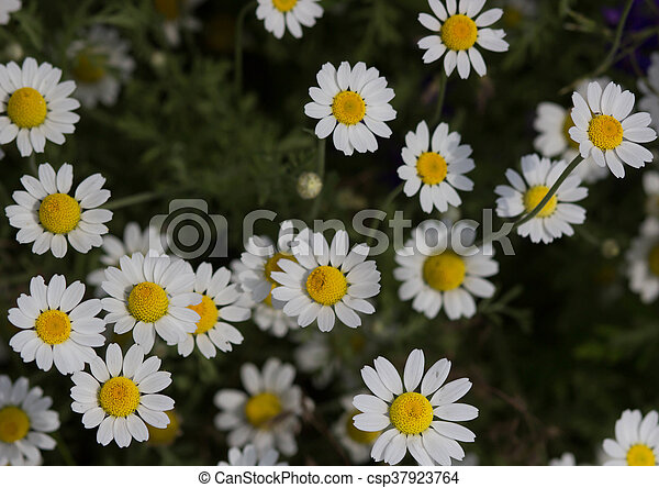 Wild chamomile flowers on a field on a sunny day. shallow depth of field - csp37923764