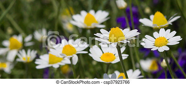 Wild chamomile flowers on a field on a sunny day. shallow depth of field - csp37923766