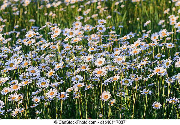 Wild chamomile flowers on a field on a sunny day. - csp40117037