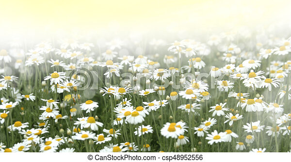 Wild chamomile flowers on a field - csp48952556