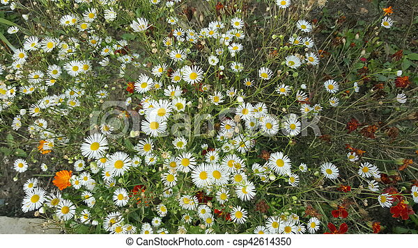 Wild chamomile flowers - csp42614350