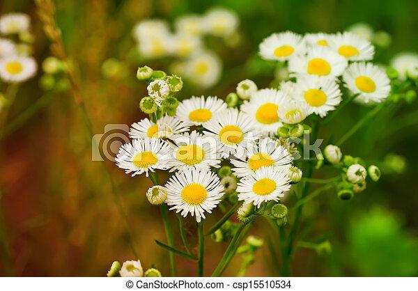 Wild chamomile flowers - csp15510534