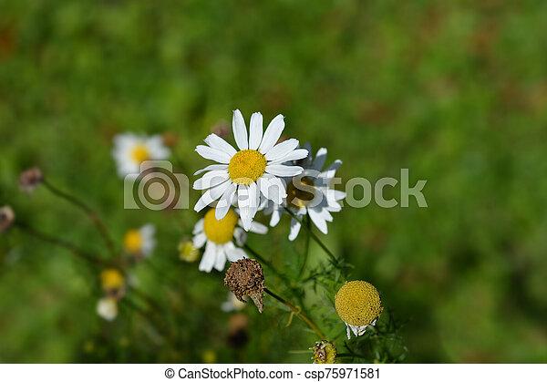 Wild chamomile - csp75971581
