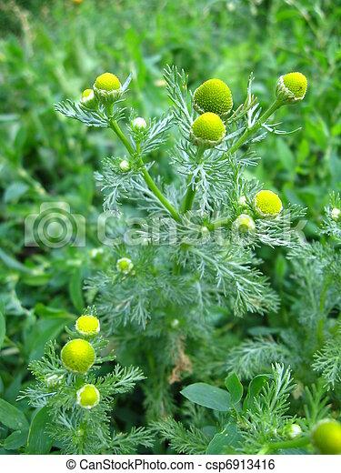 wild chamomile - csp6913416