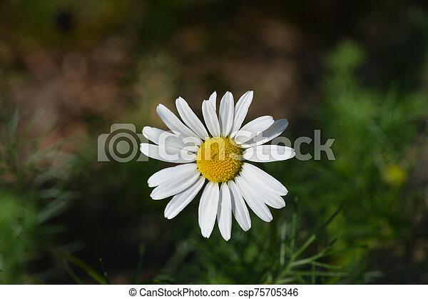 Wild chamomile - csp75705346