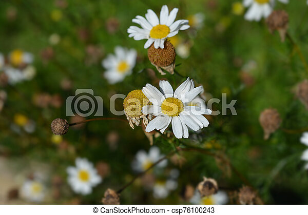 Wild chamomile - csp76100243