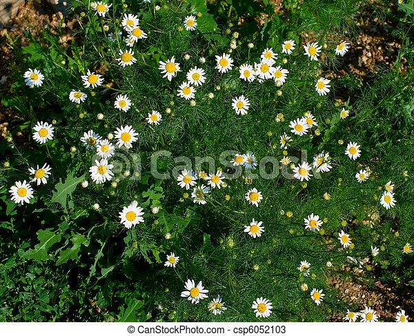 wild chamomile - csp6052103